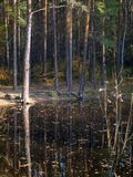 Small lake with pines on the shore in the autumn forest royalty free stock photo