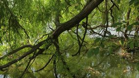 Small lake with trees. Tree branches reaching above a small lake stock footage