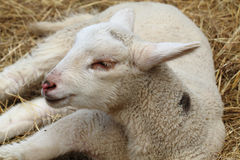 Small lamb is resting Royalty Free Stock Photos