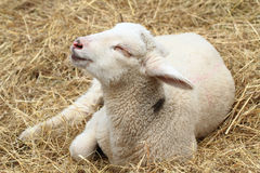 Small lamb is resting Royalty Free Stock Photo