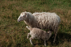 Small Lamb suckling his mother. Stock Photography
