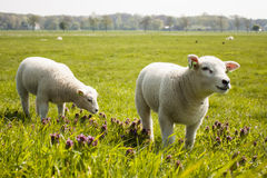 Small lambs. Two small lambs on spring meadow in netherlands Royalty Free Stock Photos