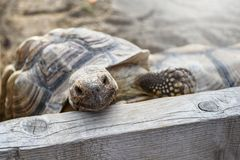 Small land turtle inside wooden fence at the backyard stock image