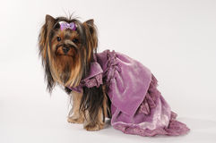 Small lap dog in dress. Small lap dog in a dress. Dressed Yorkshite terrier Stock Images
