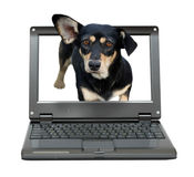 Small laptop with dog. Small laptop with dachshund dog out of screen royalty free stock photo