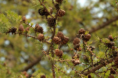 Small larch cones on a branch. Stock Photo