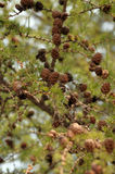 Small larch cones on a branch. Stock Photos