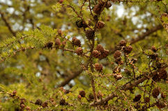 Small larch cones on a branch. Royalty Free Stock Images