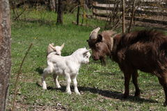 Small and large goat Royalty Free Stock Image