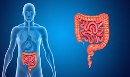 Small and large intestine Stock Photography