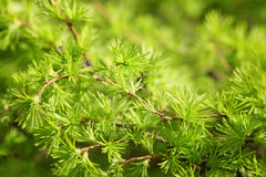 Small larix tree leaves close up Royalty Free Stock Images