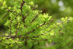 Small larix tree leaves close up Stock Images