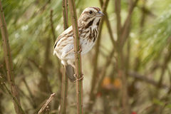 Small Lark Sparrow Hanging on Twig Stock Photography