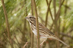 Small Lark Sparrow Hanging on Twig Stock Image