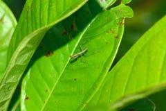 Small larva of mantis Stock Photo