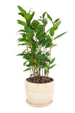 Small laurel tree in flower pot isolated on white background. Stock Image