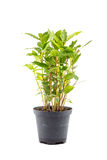 Small laurel tree in flower pot Royalty Free Stock Photo