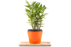 Small laurel tree in flower pot Stock Photography