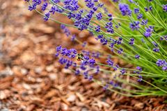 Smal lavender plant in brown soil. Small lavender plant in wood chip soil stock photo
