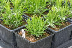 Small lavender seedlings in pots Royalty Free Stock Image