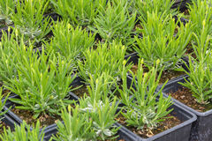 Small lavender seedlings in pots Stock Photography