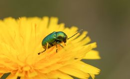 A tiny Leaf Beetle Cryptocephalus aureolus nectaring on a orange flower. Stock Photo