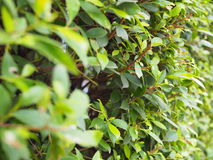 Small leaf bush wall with brown branches, perspective Royalty Free Stock Image