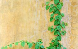 Small leaf climber on vintage wall stock photography