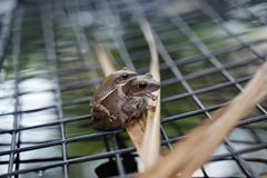 Small leaf frog on top of the larger one on the mesh over the po. Small leaf frog on top of the larger one on the dried leaf and the mesh over the pool in mating stock photo