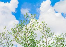 Small leaf green branch of tree tropical in nature on the sky background beautiful view with copy space add text.  Stock Photo