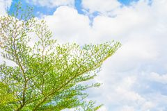 Small leaf green branch of tree tropical in nature on the sky background beautiful view with copy space add text.  Royalty Free Stock Photo
