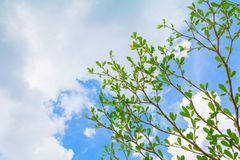 Small leaf green branch of tree tropical in nature on the sky background beautiful view with copy space add text.  Stock Image