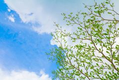 Small leaf green branch of tree tropical in nature on the sky background beautiful view with copy space add text.  Stock Photos