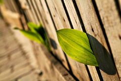 Small leaf plant growing through a wooden fence. Horizontal Shot Royalty Free Stock Image