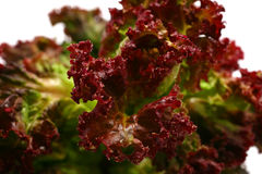 Small leaf of red lettuce Stock Images