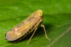 Small Leafhopper. On a Green Leaf Stock Photos