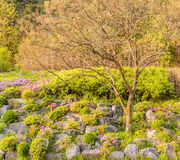 Small leafless tree on hillside landscaped with flowers and larg Stock Photos