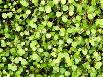 Small leafs decorative plant Royalty Free Stock Photo