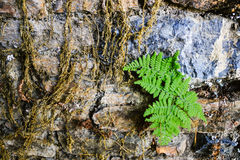 Small leafs growing in a stone wall. Royalty Free Stock Photos