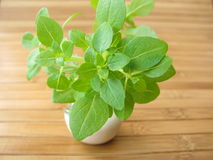 Small leaved basil Stock Image