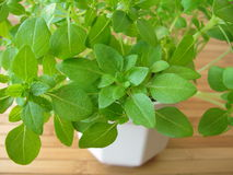 Small-leaved basil Royalty Free Stock Images