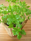 Small-leaved basil Stock Images