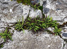 Small Leaved Fern With Grey Stone Wall. Small leaved fern growing out of grey stone wall in Ireland Royalty Free Stock Photo