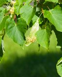 Small-leaved lime or littleleaf linden, Tilia cordata, flowers at end of blossom close-up, selective focus, shallow DOF royalty free stock photo
