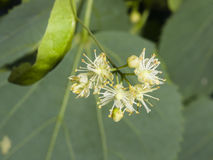 Small-leaved lime or littleleaf linden, Tilia cordata, flowers macro, selective focus, shallow DOF Stock Photos