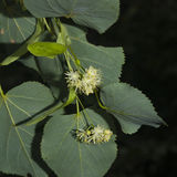 Small-leaved lime or littleleaf linden, Tilia cordata, flowers macro, selective focus, shallow DOF Royalty Free Stock Photo