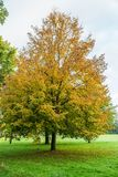 Small-leaved lime, Tilia cordata, in autumn colors. Solitaire Small-leaved lime, Tilia cordata, in autumn colors planted in a lawn stock image