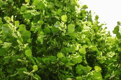Small leaved lime Tilia cordata tree, detail on branches cover. Ed with leaves and fruits stock photos