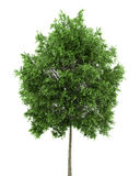 Small-leaved lime tree isolated on white Royalty Free Stock Photography