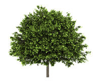 Small-leaved lime tree isolated on white Stock Photography